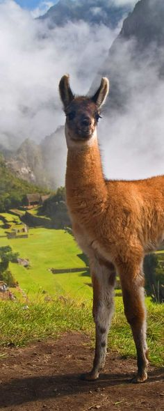 Llama lover? Jet off to Machu Picchu and check out those crazy cute llamas. They're notorious for photobombing.   Plan your trip with the most rewarding travel site, CarryOn.com!