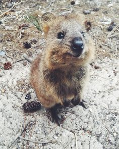 Hi quokka  Love australia and their cute animals! Just look at this adorable thing I found in rottness Island  #rottnestisland #rottnest #australia #aussie #livingthedream #paradise #perth #westernaustralia by lifeof365days http://ift.tt/1L5GqLp