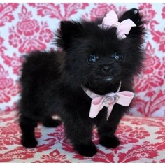 Teacup pomeranian ... Uploaded with Pinterest Android app. Get it here: http://bit.ly/w38r4m