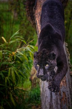 Athena the black Jaguar at WHF, Smarden Black Panthers, Black Tigers, Panther Leopard, Snow Leopard, All Animals Photos, Animals Of The World, Beautiful Cats, Animals Beautiful, Cutest Animals