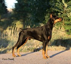 American Doberman, Doberman Pinscher, Dog Breeds, Presents, Romantic, Heart, Animals, Star, Doberman Dogs