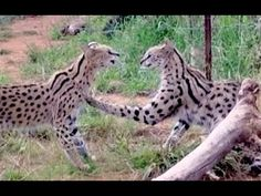 The Serval Dance   Africa Wild Cats Settle Dispute Through Animation Rat...