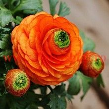 5 BULBS - Ranunculus - Orange Flowers - Persian Buttercup - Plant Now for Spring Flowers - NEW in the Flower Bulbs, Roots & Corms category was sold for on 20 Jul at by Seeds and All in Port Elizabeth Blooming Flowers, Spring Flowers, Bulb Flowers, Flowers Nature, Beautiful Flowers, Persian Buttercup, Ranunculus, Peonies, Types Of Flowers