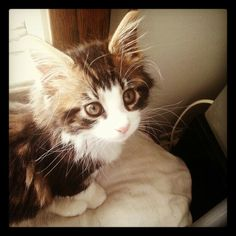 Maine Coon Kitten Two months old