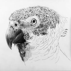 African Parrot Grey health diet personality intelligence training and care Bird Drawings, Animal Drawings, Drawing Birds, African Drawings, Senegal Parrot, Parrot Drawing, World Birds, African Grey Parrot, Wood Burning Patterns