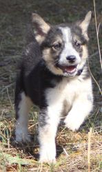Roo is an adoptable Australian Cattle Dog (Blue Heeler) Dog in Germantown, MD. Roo was rescued from a high kill shelter in eastern Kentucky along with his siblings. Roo is the smallest of three boys, ...