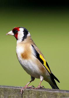 Goldfinch, | Flickr - Photo Sharing!