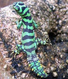 Green Thornytail Iguana (Uracentron azureum)would have never guessed this was an iguana! Reptiles Facts, Cute Reptiles, Reptiles And Amphibians, Mammals, Animals Of The World, Animals And Pets, Cute Animals, Geckos, Rainforest Animals
