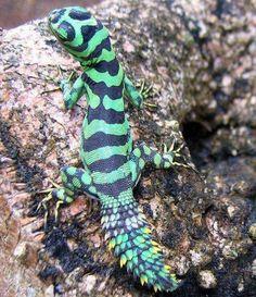 Green Thornytail Iguana (Uracentron azureum) a species of lizard from the Amazon Rainforests