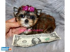 Her coloring is rare and highly sought after. Pets & livestock ad on DomesticSale free classifieds. Micro Teacup Yorkie, Abilene Texas, Yorkie Puppy, Livestock, Lighter, Tea Cups, Coloring, Teddy Bear, Puppies