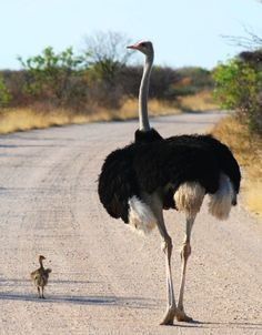 Ostrich takes her baby for a walk down a South African road.