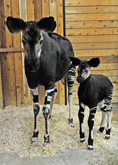 Okapi mom and baby