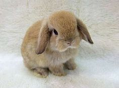French Lop named Doodles!