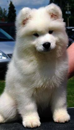 the dog i want to get when i am older.....sammoyed pup