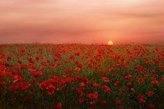 Great Photo by Albena Markova ~ Poppies field in Bulgaria.