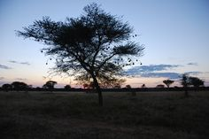 The iconic acacia tree with weaver bird nests, on safari, Okonjima, Namibia
