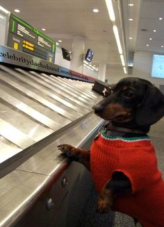 A Dachshund at airport waiting for his luggage!