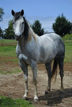 SQUIRES MYSTY WAR DRUM - Filly - FOR SALE - ARK RANCH - Quality Paint Quarter Horses