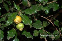 Flora Digital do Rio Grande do Sul e de Santa Catarina: Campomanesia rhombea