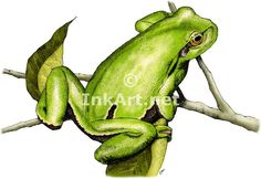 Full color illustration of a European Tree Frog (Hyla arborea)