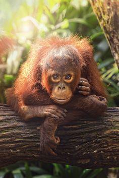 Baby Orang Utan by toonman blchin on 500px
