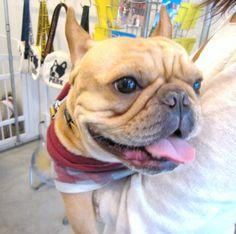 Ms. Coco, the French Bulldog