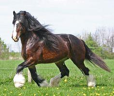 Shire Horse | shire-horses-eine-leidenschaft-pfedeanzeiger-sam.jpg
