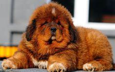 Herunterladen hintergrundbild tibetan mastiff, welpen, flauschige hund, cute dog, brown tibetan mastiff, tiere, niedliche tiere, hunde, mastiff-hund
