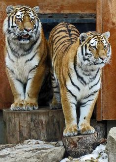 Two 23-month-old male Tiger cubs at the Calgary Zoo