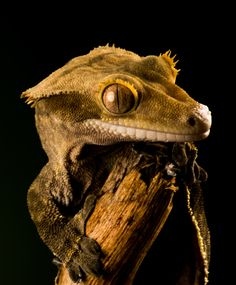The beautiful crested gecko, some of the smallest creatures have a way of winning you over.