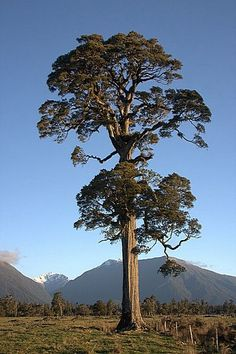 Image result for matai tree nz