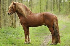 Icelandic horse stallion, Örn frá Steinnesi