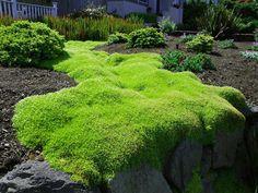 """Sagina subulata """"Scotch Moss"""""""