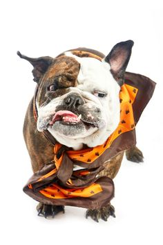 Big Angus is modeling for our Dogs-N-Ties fundraiser that raises money for the SF SPCA. Please help spread the word of our fundraiser and re-pin this photo.