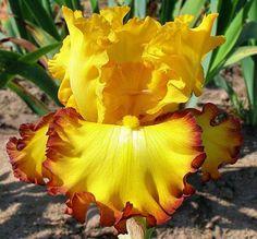Photo of Tall Bearded Iris (Iris 'Rim of Fire') uploaded by Calif_Sue