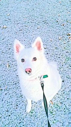 """MY NIKI DOGG""...AMERICAN ESKIMO"