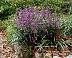 Liriope muscari 'Ingwersen'. Low maintenance plant. Does better in shade. Drought tolerant. Zone 6-10. Mulch in winter. Grate as ground cover or garden edge.