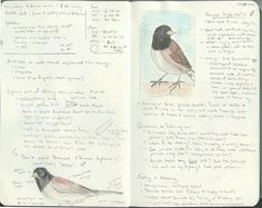 8 March 2012 - Sketches and some facts about dark-eyed juncos (spotted in the front yard)