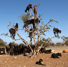 Goats on trees are found mostly only in Morocco. The goats climb them because they like to eat the fruit of the argan tree, which is similar to an olive. Farmers actually follow the herds of goats as they move from tree to tree. Not because it is so strange to see goats in trees and the farmers like to point and stare, but because the fruit of the tree has a nut inside, which the goats can't digest, so they spit it up or excrete it which the farmers collect. The nut contains 1-3 kernels, which c