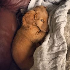 How you look like when you really really really want monday to end  IG @reesethegoldendachshund #sausagedoglove