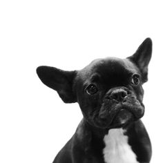 French Bulldog Puppy - Please don't breed or buy while shelter animals die. Check out rescue groups or your local shelter for your next furry family member. You'll be saving a life. Cute Puppies, Cute Dogs, Dogs And Puppies, Doggies, Terrier Puppies, Corgi Puppies, Bull Terriers, Boston Terrier, Baby Animals