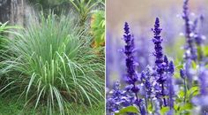 4 PLANTS THAT WILL KEEP MOSQUITOES AWAY FROM YOU AND YOUR HOME!