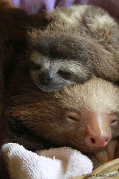 Like sleepy sloths.