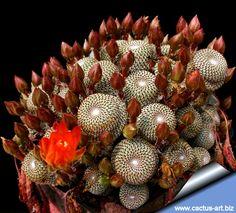 Rebutia heliosa photo by cactus-art biz. Sorry not my plant or my photo