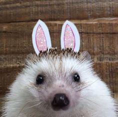 Meet Biddy the bunny hedgehog
