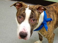TO BE DESTROYED 12/13/13 Manhattan Center -P  My name is EIFFEL. My Animal ID # is A0986276. I am a male br brindle and white pit bull mix. The shelter thinks I am about 2 YEARS old.  I came in the shelter as a STRAY on 11/30/2013 from NY 10029, owner surrender reason stated was STRAY.  https://www.facebook.com/photo.php?fbid=722759251070290&set=a.611290788883804.1073741851.152876678058553&type=3&theater