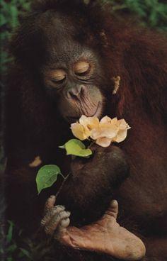nationalgeographicscans: a Malaysian orangutan, May 1977