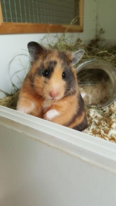 √ 14 Different Types of Guinea Pig Breeds √ 14 Different Types of Guinea Pig Breeds,Art Different Types of Guinea Pig Breeds Related posts:Kitten With Hamster FriendNew Year's Resolutions For Your Pet:. Hamster Pics, Hamster Care, Hamster Animal, Guinea Pig Breeding, Guinea Pigs, Cute Little Animals, Cute Funny Animals, Habitat Du Hamster, Funny Hamsters