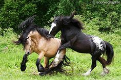 * *> FACTOID: Horses can live up to 25-30 years. Some can't if stallions insist on fighting  for territory or a mare.