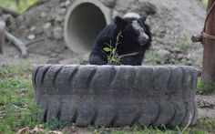 Bile Bear Who Rubbed the Fur Off His Face After Living in Tiny 'Crush' Cage Gets Rescued (PHOTOS)